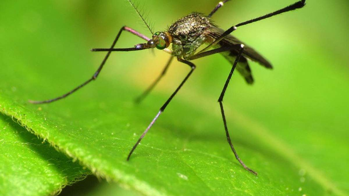 Ученые нашли новый вид комаров, которые не пьют кровь
