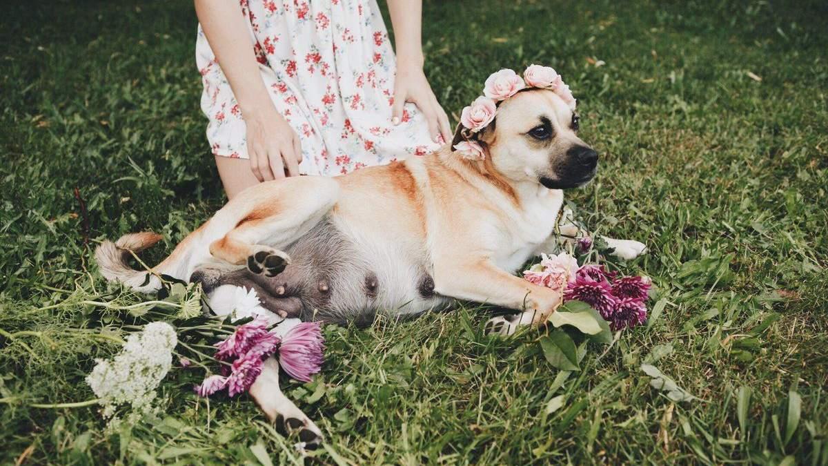 """Власниця мами-собаки зробила їй """"вагітну"""" фотосесію: неймовірні фото"""
