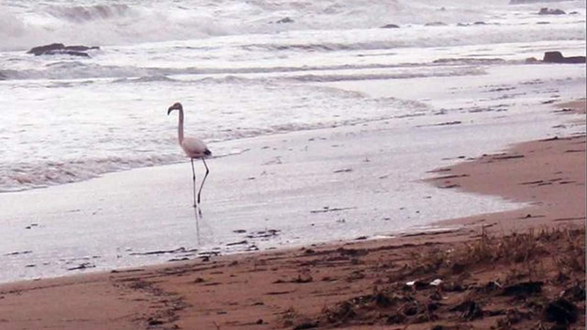 Фламинго на пляже в Феодосии