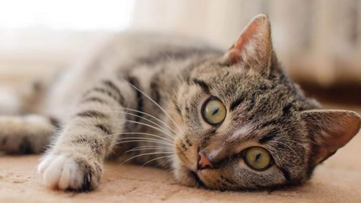 Мережа шаленіє від оптичної ілюзії з котом: відео