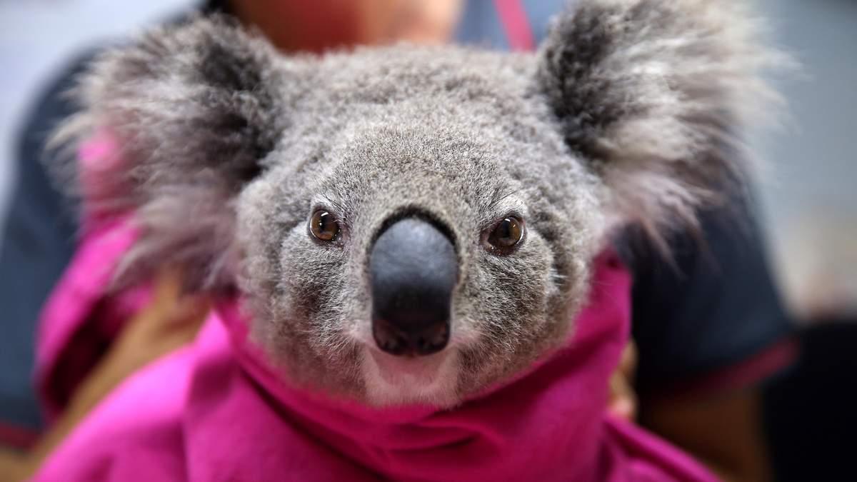 Как выглядят спасенные коалы от лесных пожаров в Австралии: фото из реабилитационного центра