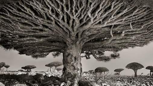 Жінка 14 років фотографувала найстаріші у світі дерева: як вони виглядають