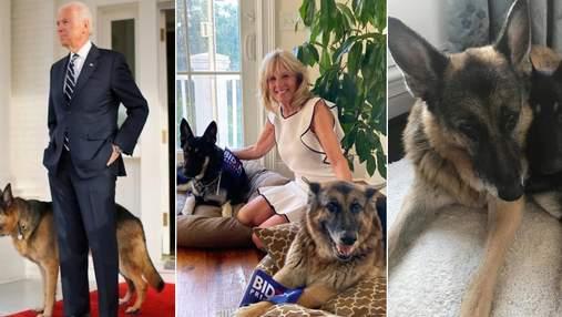 Собачка Байдена снова напала на человека: пострадавший обратился к медикам