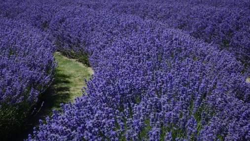 Український Прованс: лавандове поле на Рівненщині відкрило туристичний сезон
