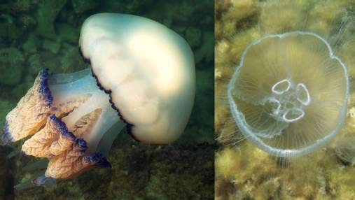 Моторошні красені заполонили Азовське море: вчені пояснили нашестя медуз