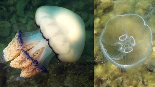 Жуткие красавцы заполонили Азовское море ученые объяснили нашествие медуз