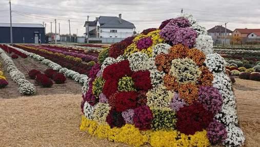 Ще одна причина поїхати до Чернівців: неподалік міста розквітло хризантемове поле